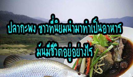 ปลากะพง ขาวที่นิยมนำมาทำเป็นอาหารมันมีชีวิตอยู่อย่างไร